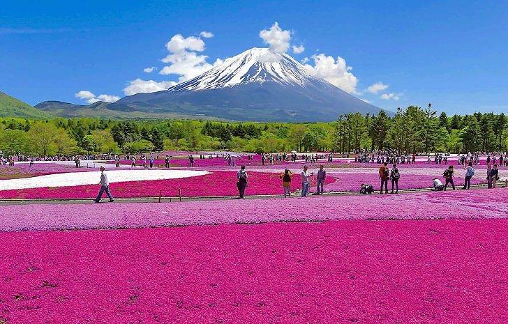 20200212富士芝桜